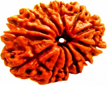 Thirteen Face Rudraksha Nepali